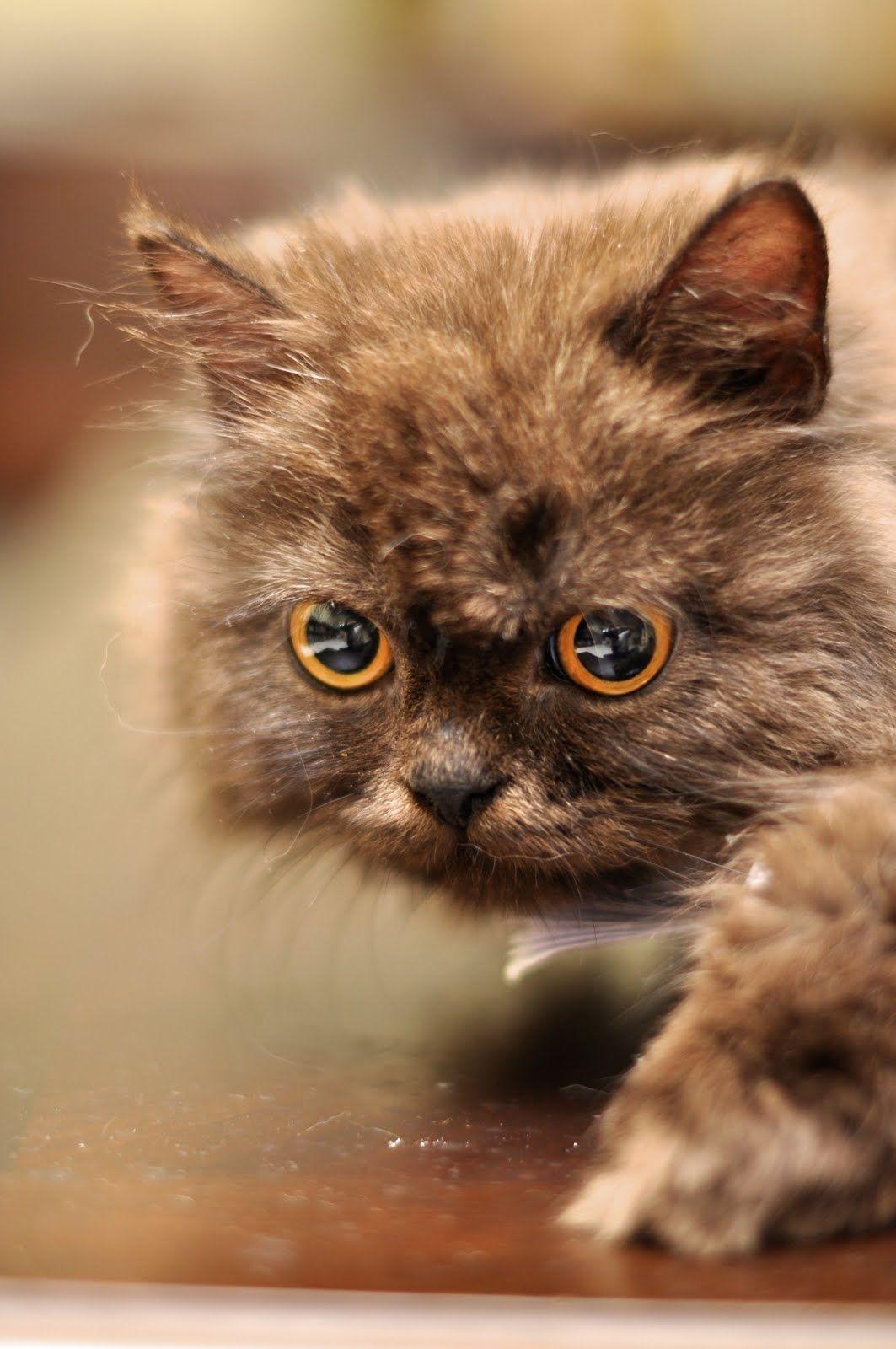 Too Cute Kitten Persian Cat Persian Cat Pinterest
