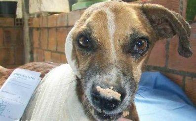 Je krásne vidieť zdravého a spokojného psíka plného života a radosti. Bohužiaľ, nie každý má také šťastie. Smutne začal aj príbeh psíka Francisca z Brazílie.