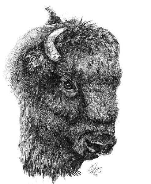 bison+Pencil+Drawings | Bison Head - WetCanvas | Buffalo ...