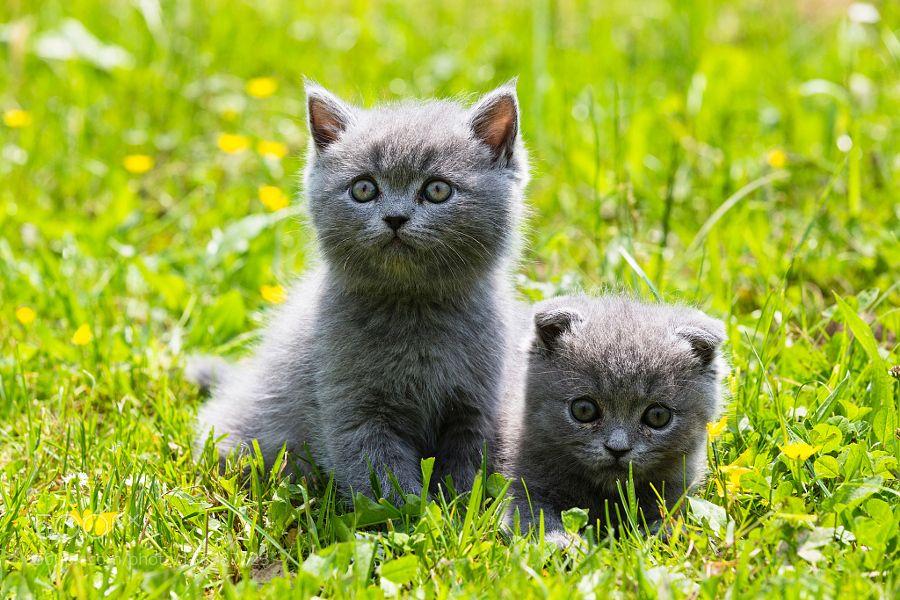 Closeup portrait of British Shorthair cats (British Blue