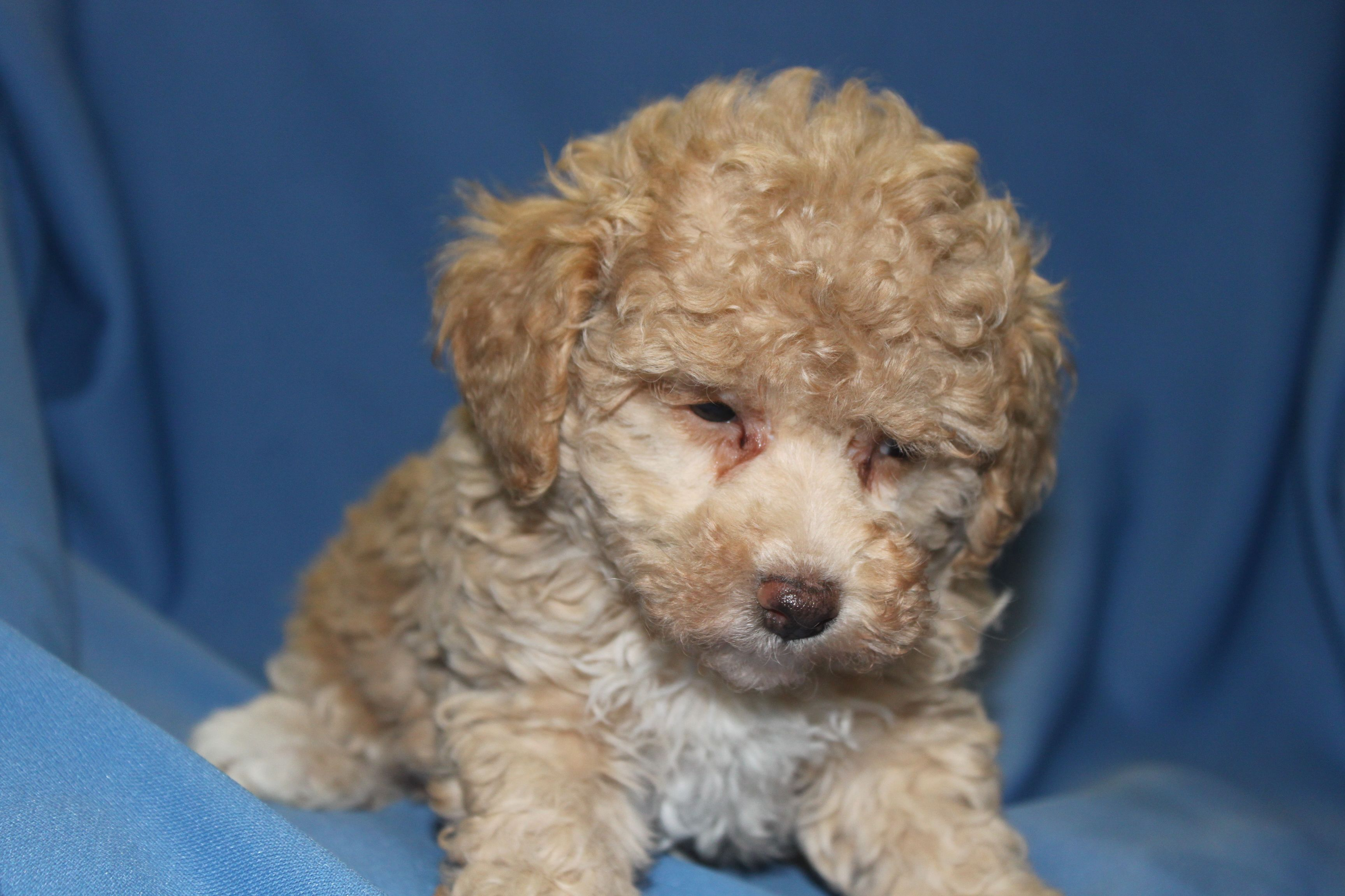 Maltipoo Puppies For Sale At Http Www Network34 Com Dogsbreed
