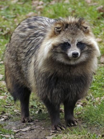 Racoon Dog - The Raccoon Dog, Which Is Not A Raccoon, Is A -5596