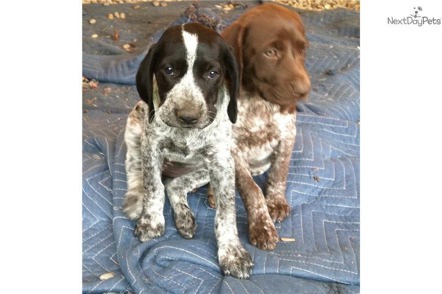 Akc Gsp Puppy Black Roan Female German Shorthaired Pointer Black Pointer Puppies Gsp Puppies