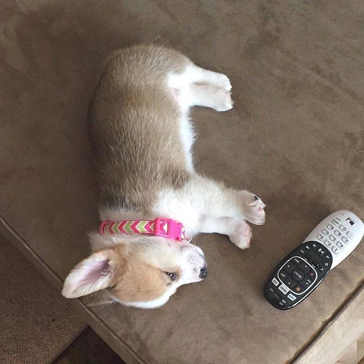 Call Me Maybe Follow Our Furiend Corgiverse Follow Babycorgifeed Tag Babycorgifeed To Be Featured Credits To Princessdottiemayt Cute Corgi Corgi Corgi Dog