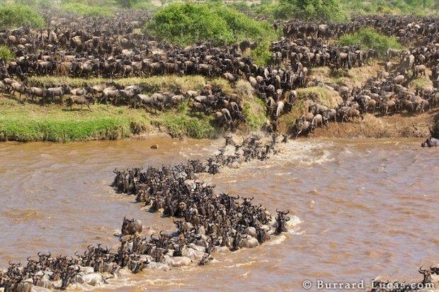 migrácie zvierat