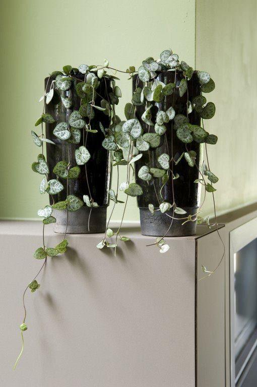 Plantes Pour Votre Salle De Bain Ceropegia Plants Pinterest - Plante verte pour salle de bain