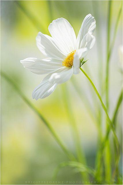 Good Morning Beautiful Flowers Flowers Cosmos Flowers
