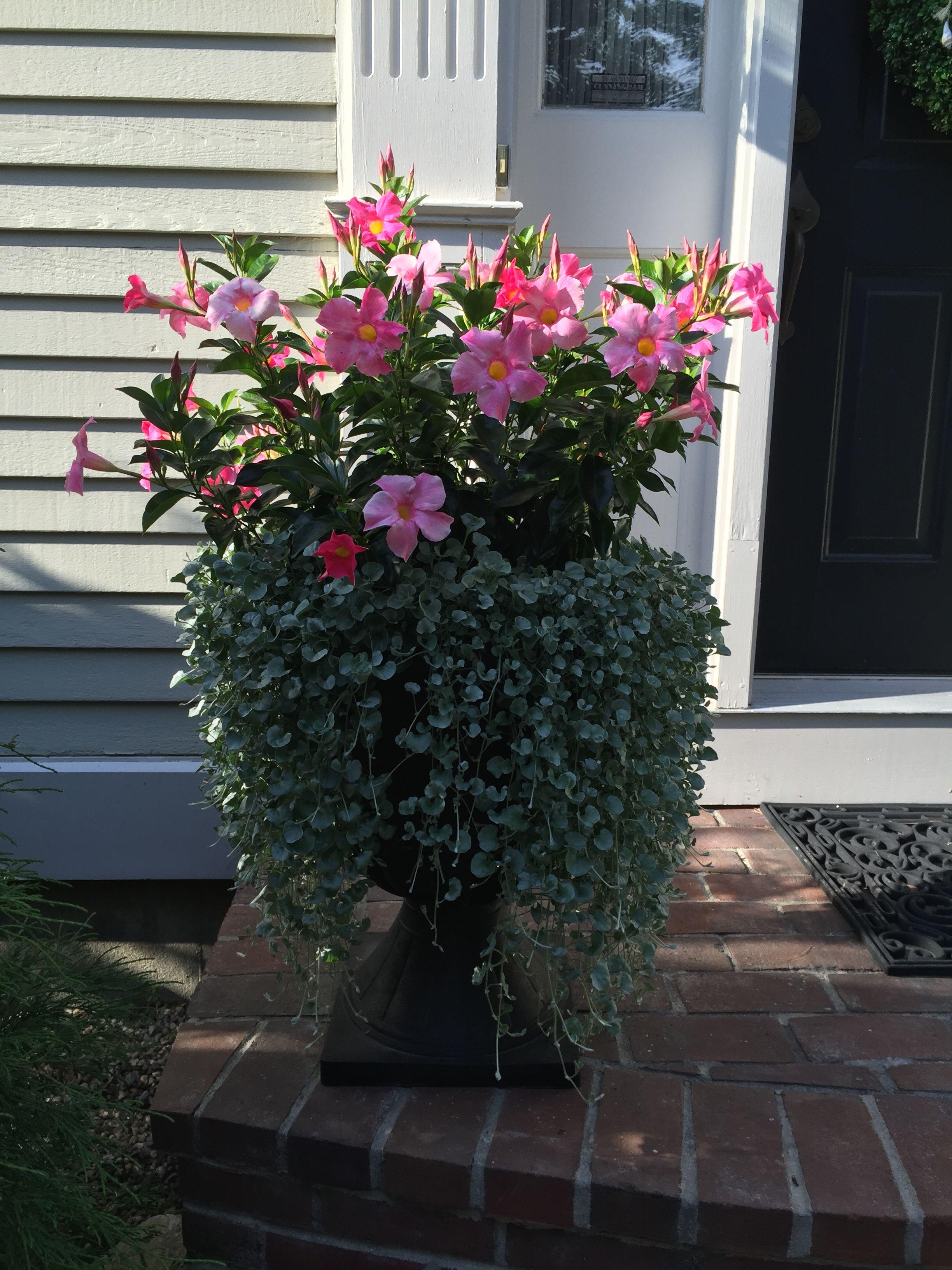 Garden Plant Large Showy Flowers Crossword Clue | Best ...