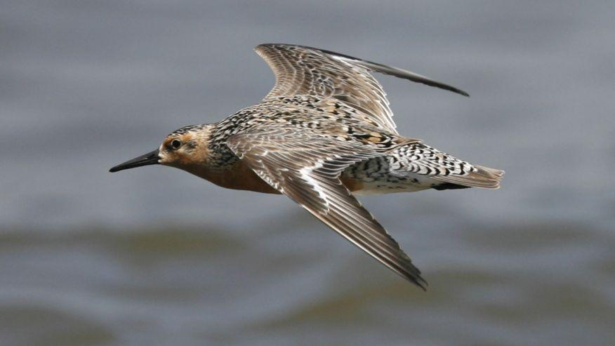 El calentamiento del Ártico ha modificado el cuerpo de un ave