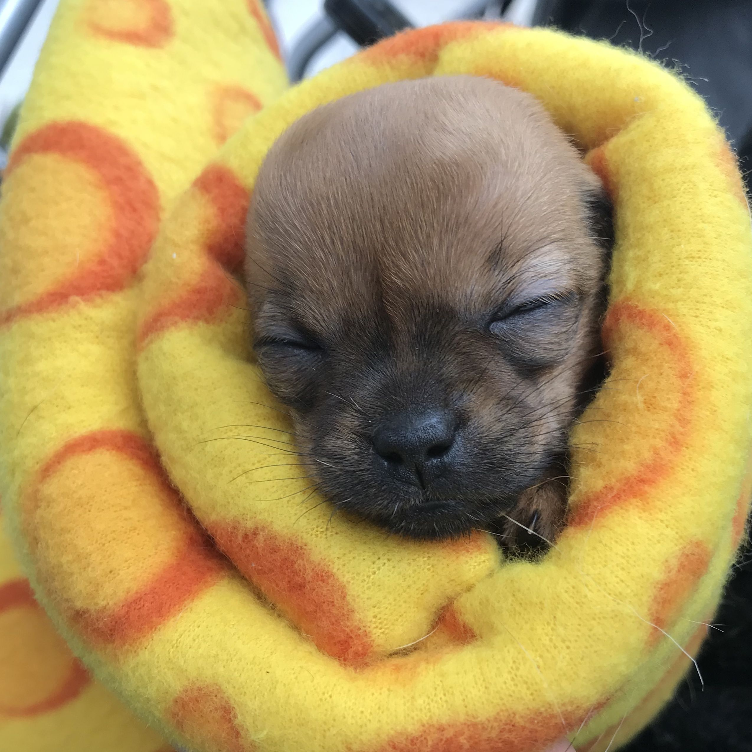 Baby Chihuahua Burrito Via Emilykempe With Images Cute