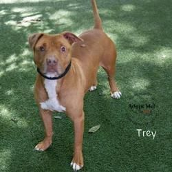 Kansas City Mo American Pit Bull Terrier Meet Trey A Dog For