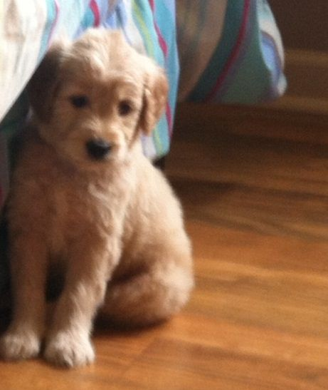 Miniature F1B Goldendoodle!  Coming home June 21