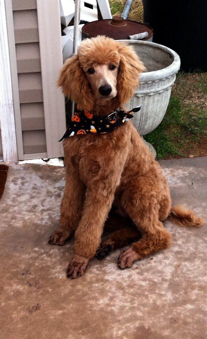 Apricot Standard Poodle Roady Poodle Dog Poodle Puppy