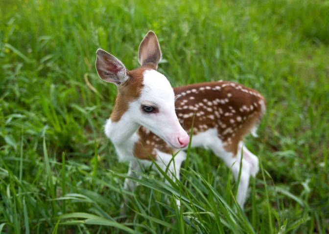 He's So Cute! This Little Guy Is a Piebald Fawn, and Was Born With a White Face and Blue Eyes