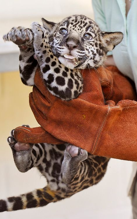 Pin By Images Of Me On Animals Love Them All Baby Jaguar Animals Animals Wild