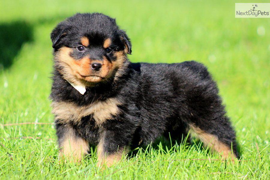 Rottweiler Cute Rottweiler Puppy For Sale For 900 Josie