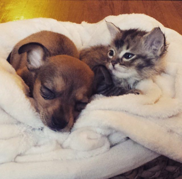 Chip Adele Kitten And Puppy Become Best Friends Kittens Kittens