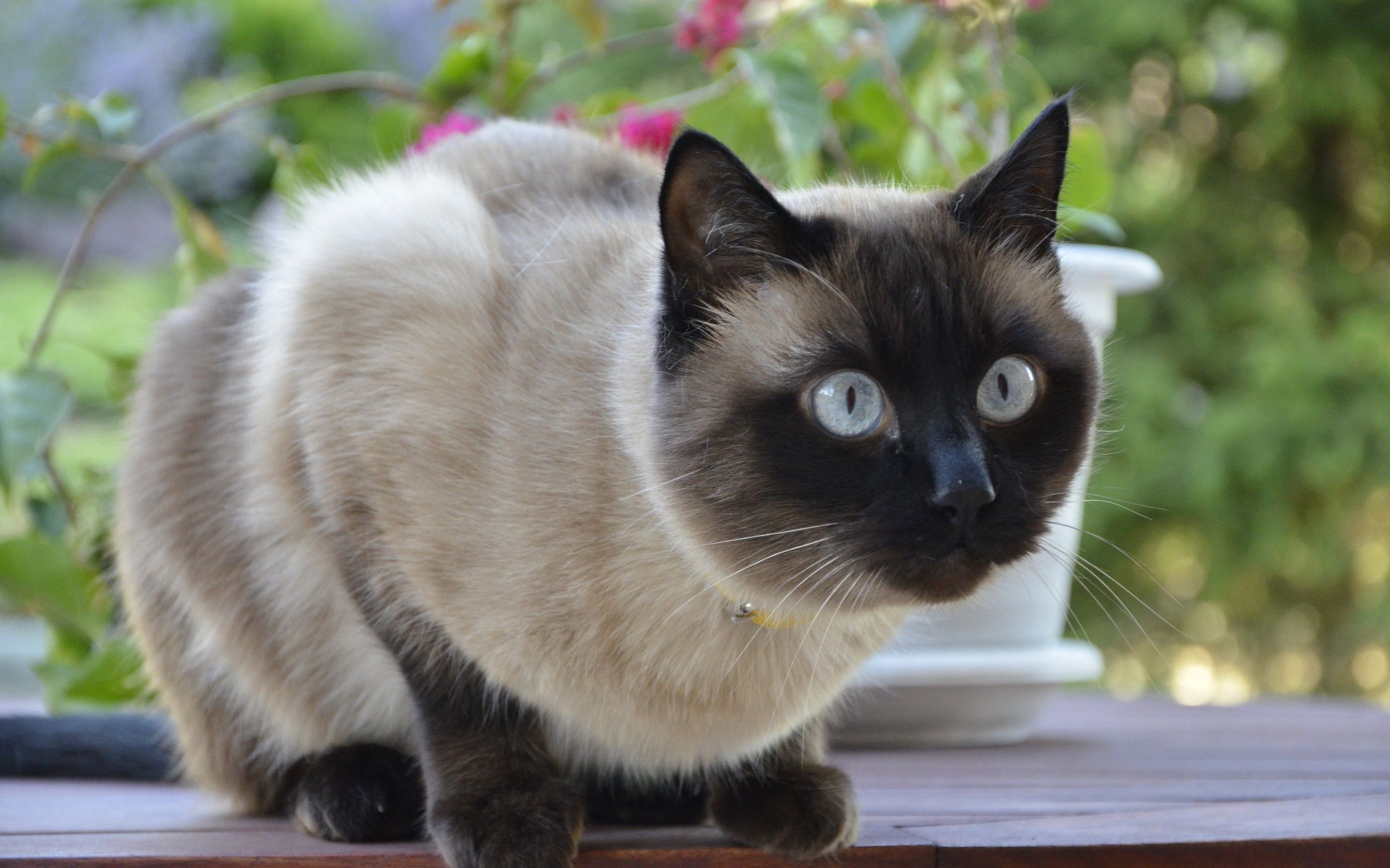 Afunnyimages provides High Definition Siamese Cat Images