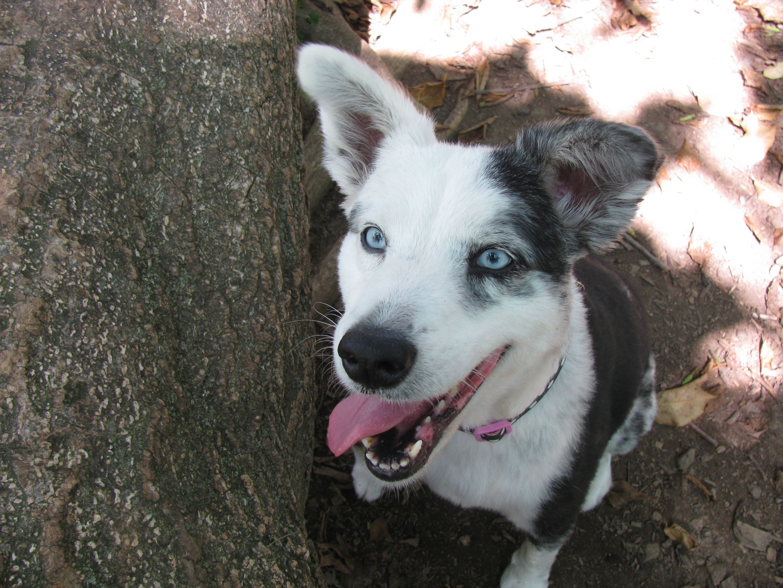 This is my Australian Shepherd Cleo.