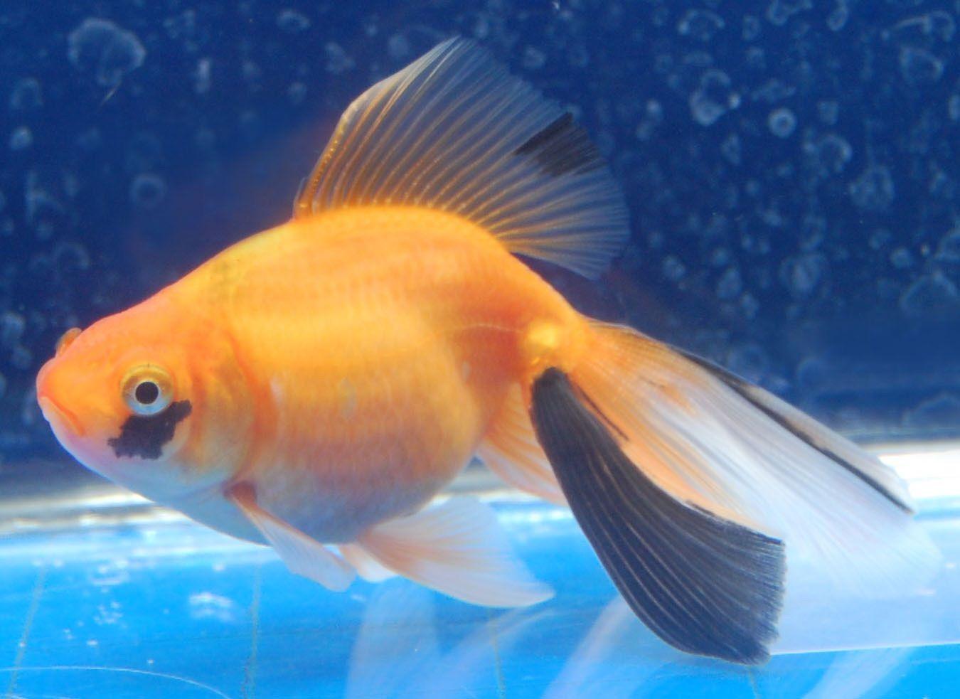 Goldfish Very Unique Fantail Goldfish Oscar Fish Aquarium Fish