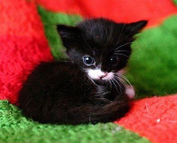 Cute Black Kitten With A White Nose Newborn Kittens Cute Cats Kittens Cutest