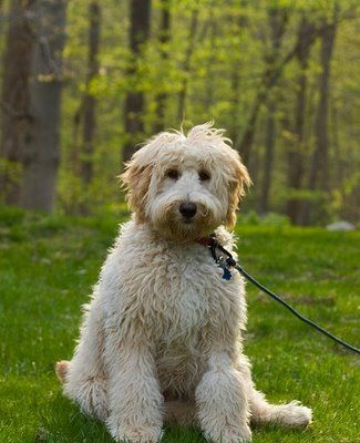 A Gold Also Called Apricot Labradoodle This Colour Coat