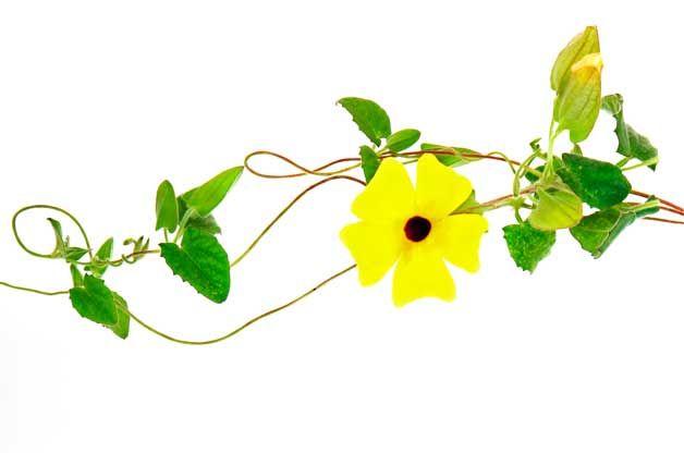 Climbing flowers fast growing vines flower garden flowers climbing flowers fast growing vines flower garden mightylinksfo
