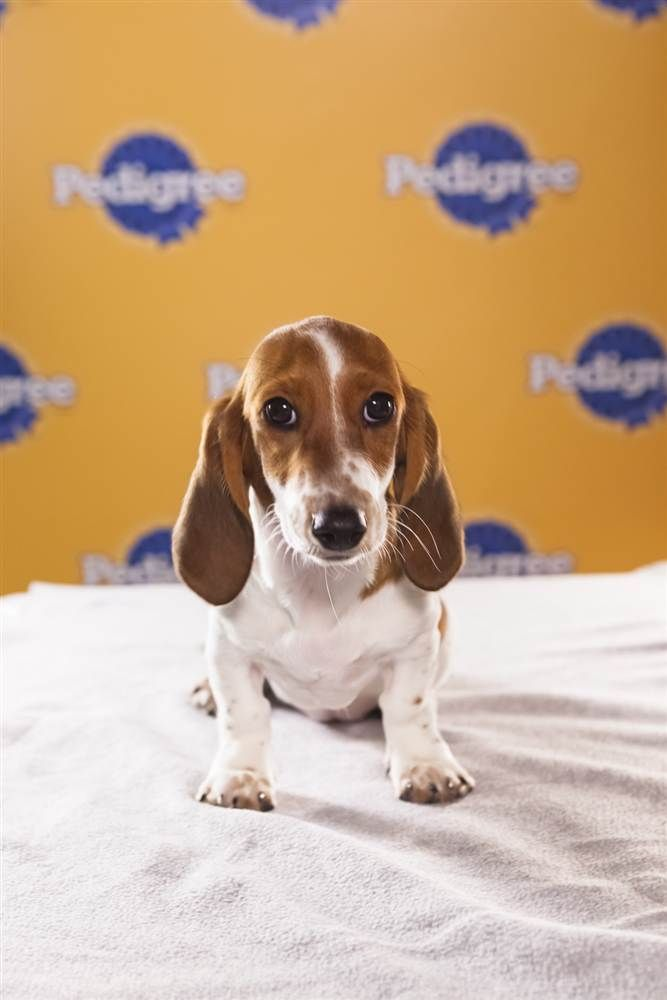 Meet The 2013 Puppy Bowl Lineup Puppies Basset Puppies