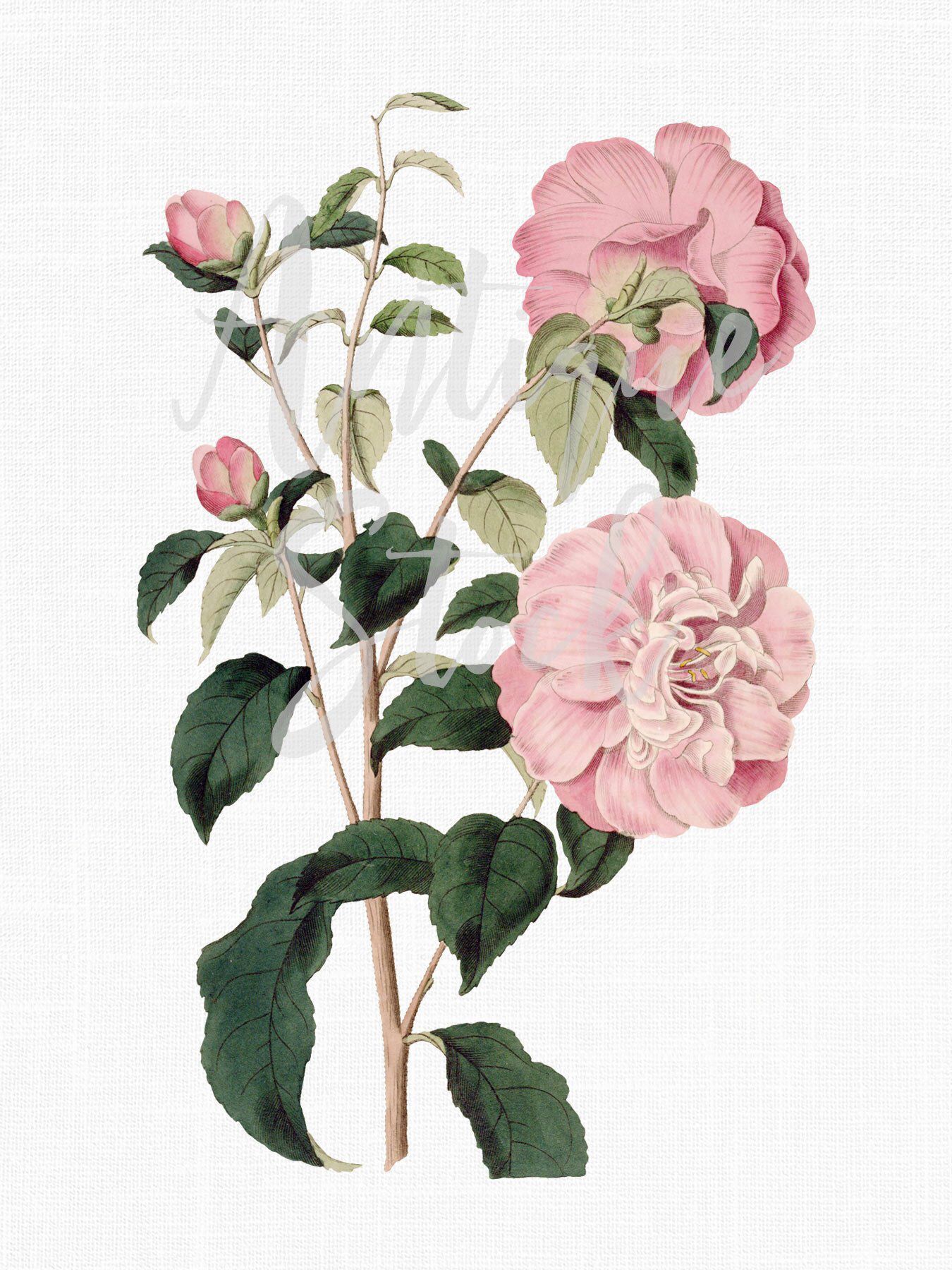 Pink Camellia Flower Botanical Illustration Png Jpg Etsy Botanical Illustration Illustration Wall Art Prints