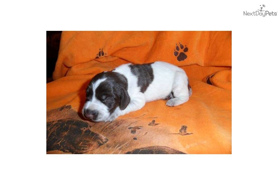German shorthaired pointer puppy for sale german