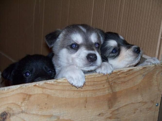 Lab Husky Mix Super Cute Puppies Kittens And Puppies Pedigree Dog