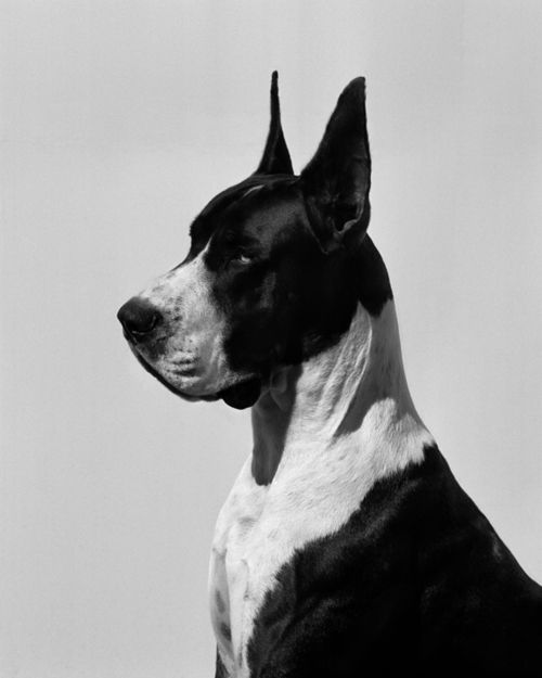 Via Strikes Our Fancy Pups Dane Dog Dogs Great Dane Dogs