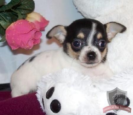 Jennifer Cute Puppies Chihuahua Breeders