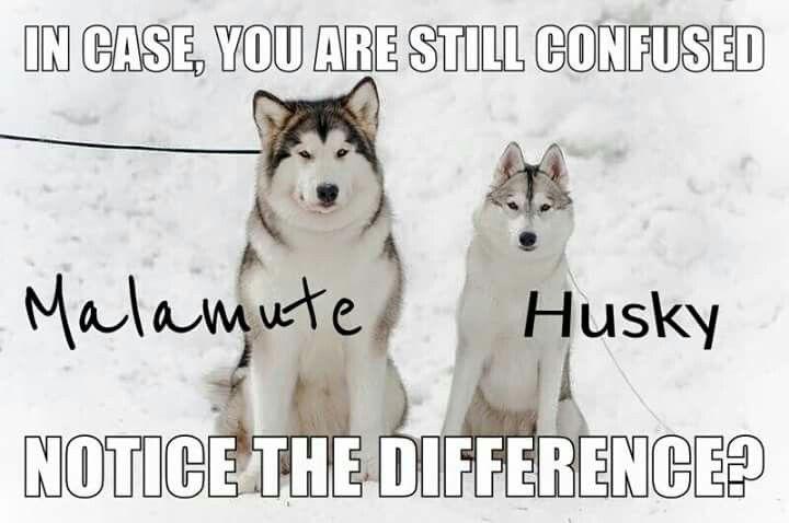 I Want A Wolamute Alaskan Malamute And Timber Wolf Wolf