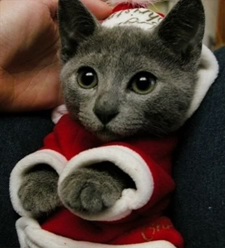 Changmin Heechul Pet Pictures Russian Blue Cat Christmas Cats Cats And Kittens