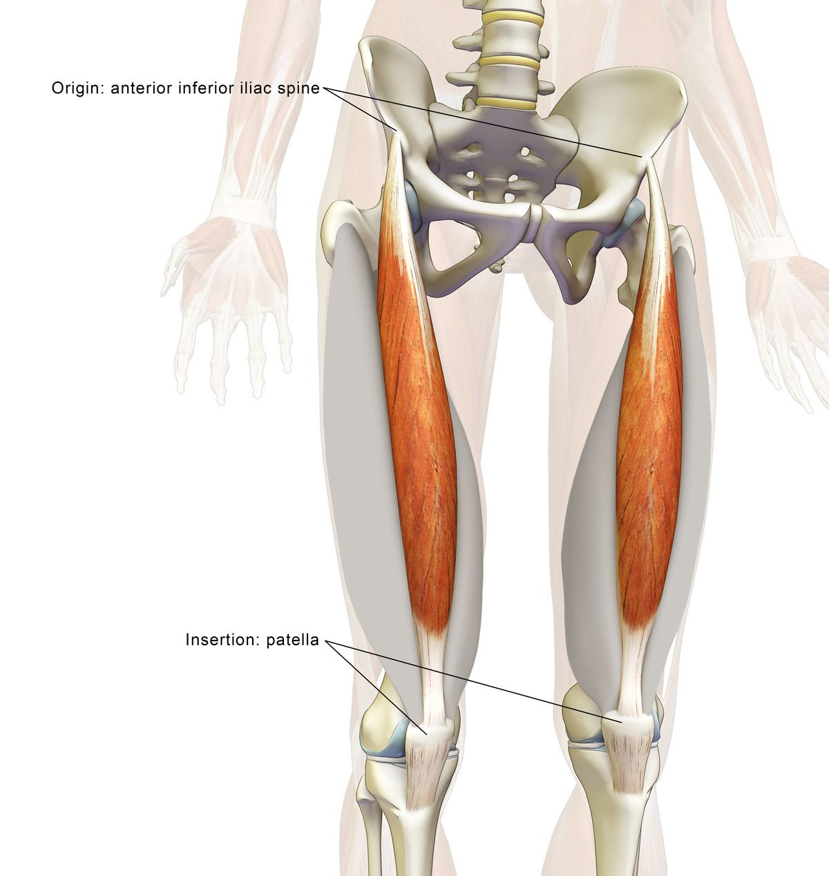 The Daily Bandha: The Rectus Femoris Muscle in Yoga | Anatomy ...