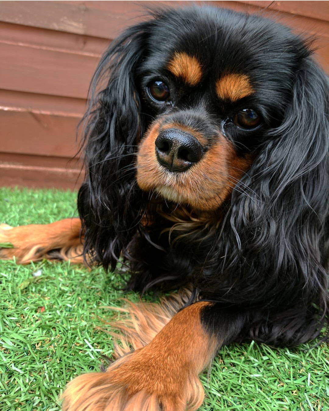 2c75362004f My gorgeous 2 year old Black   Tan Cavalier King Charles Spaniel Bella
