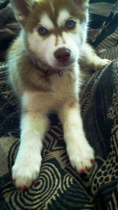My Princess Siberian Husky Dakota With Pretty Pink Nails