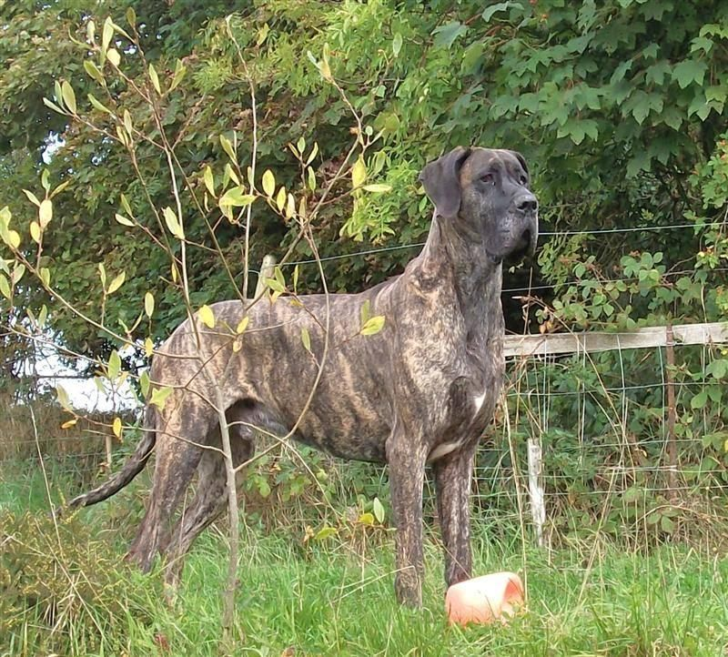 Great Dane Wikipedia, the free encyclopedia Deutsche