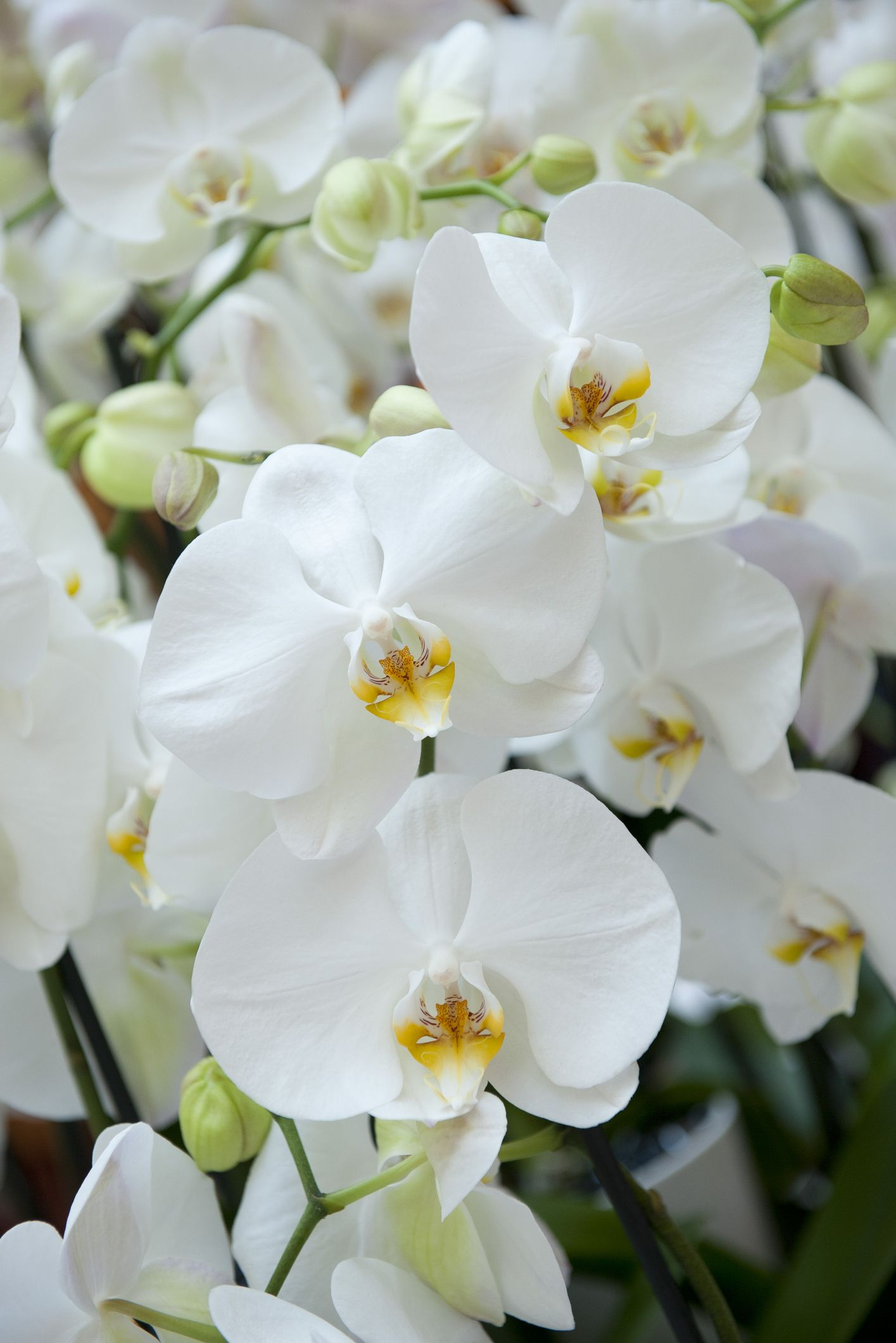 Arrosage De L Orchidee Nos 6 Conseils Pour Bien S Y Prendre Comment Arroser Une Orchidee Arrosage Des Orchidees Fleur Orchidee