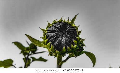 sunflower With background, dark tone. #agriculture, #background, #beautiful, #beauty, #blooming, #blossom, #bright, #closeup, #cloudy, #color, #colorful, #concept, #dark, #decoration, #design, #detail, #field, #flora, #floral, #flower, #fresh, #garden, #green, #grey, #growing, #leaf, #life, #monochrome, #natural, #nature, #object, #orange, #outdoor, #petal, #plant, #pretty, #raw, #seeds, #side, #sky, #space, #spring, #summer, #sun, #sunflower, #sunflowers, #texture, #through, #vibrant, #yellow