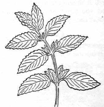 Herbs : peppermint : Classroom Clipart | Bonatical ...