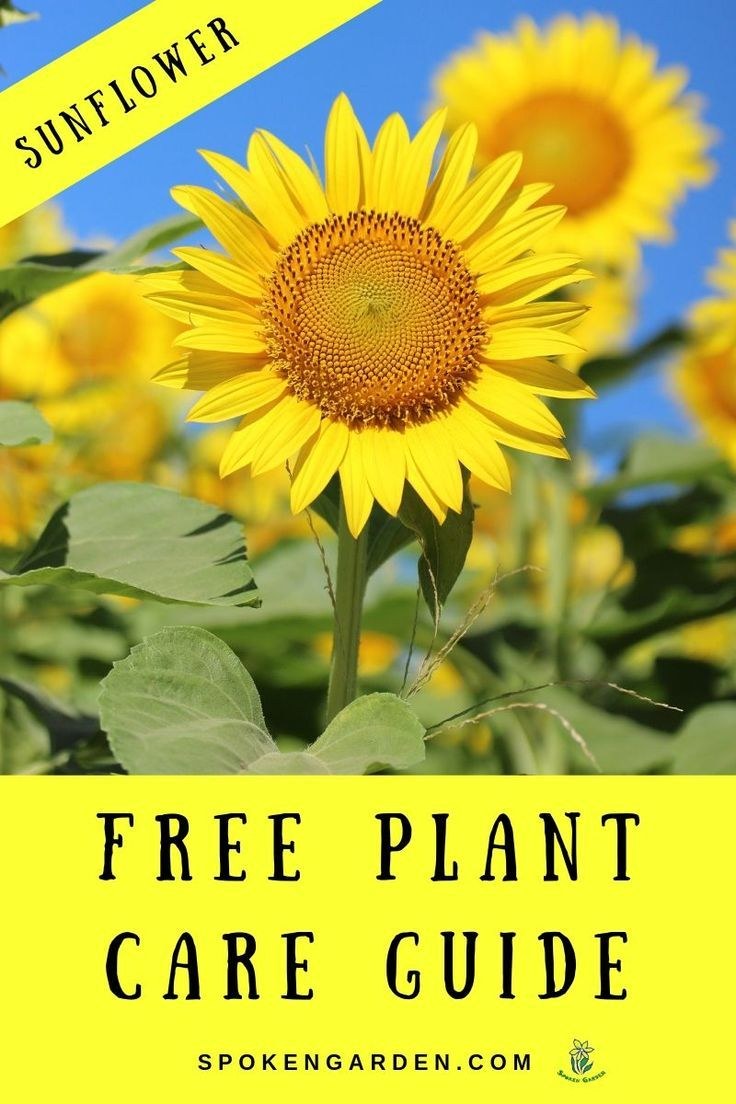 Sunflower Plant Care Spring Vegetable Garden Summer Flowers Garden Summer Vegetables Garden