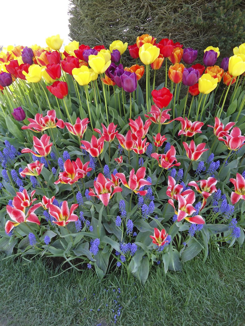 When to plant tulips 26