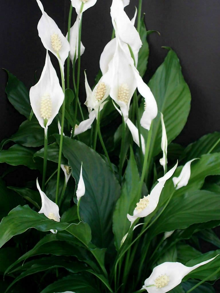 Spathiphyllum Wallisii Spathiphyllum Wallisii Peace Lily Arums Araceae House