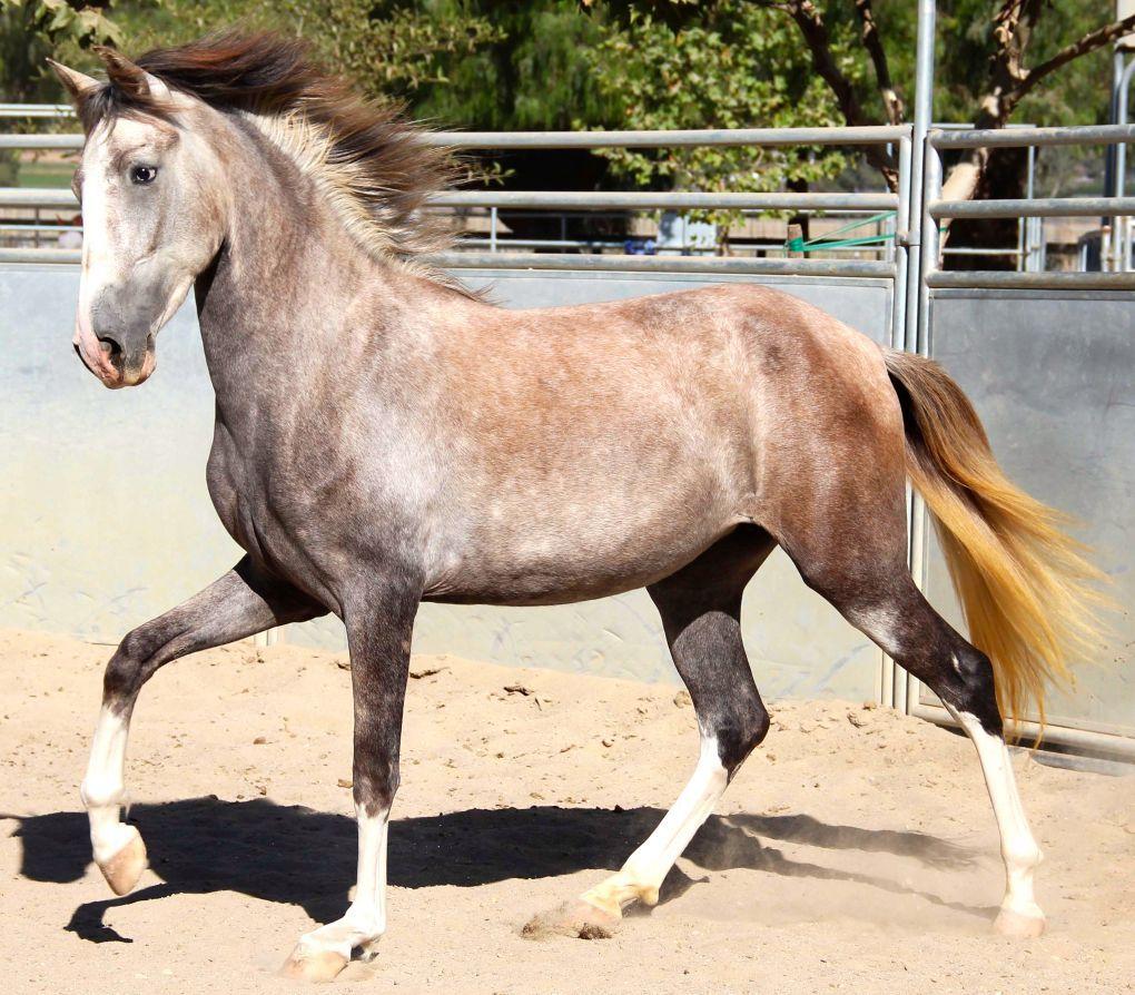 Costa Rican Paso Treasure Of Costa Rica Horses For Sale Horses Horse Classifieds