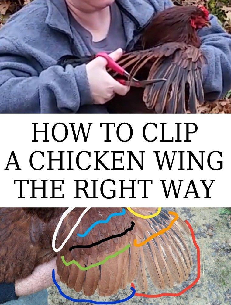 How To Clip A Chicken Wing The Right Way New Life On A Homestead Homesteading Blog Clipping Chickens Wings Fancy Chickens Chicken Roost