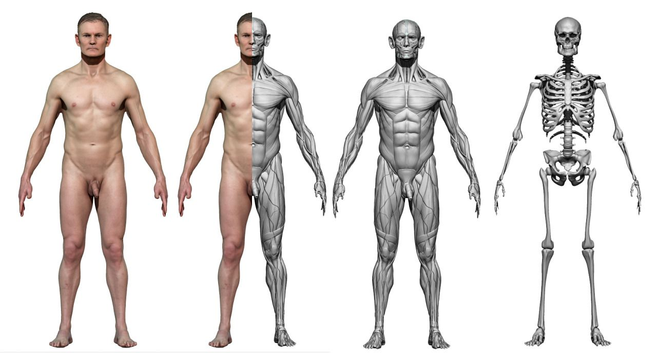 Anatomy 360 — Our first male ecorche model based on a full ...