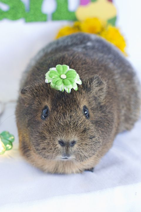 Little flower piggy #Pigs #GuineaPigs