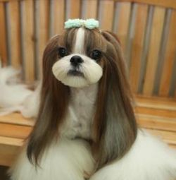 Shih Tzu Hairstyles Cutely For The Adorable Fur Babies Shih Tzu Grooming Dog Grooming Shih Tzu Hair Styles